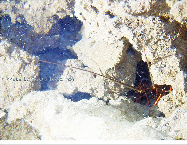 穴の中にはおいしそうなイセエビ!! photo by OLYMPUS XZ-1
