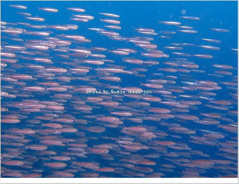 スク(アイゴの幼魚)がいっぱい! Photo by OLYMPUS XZ-1