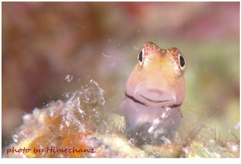 イシガキカエルウオ、やっぱ正面顔を撮りたくなりますね♪ photo by Nikon D300