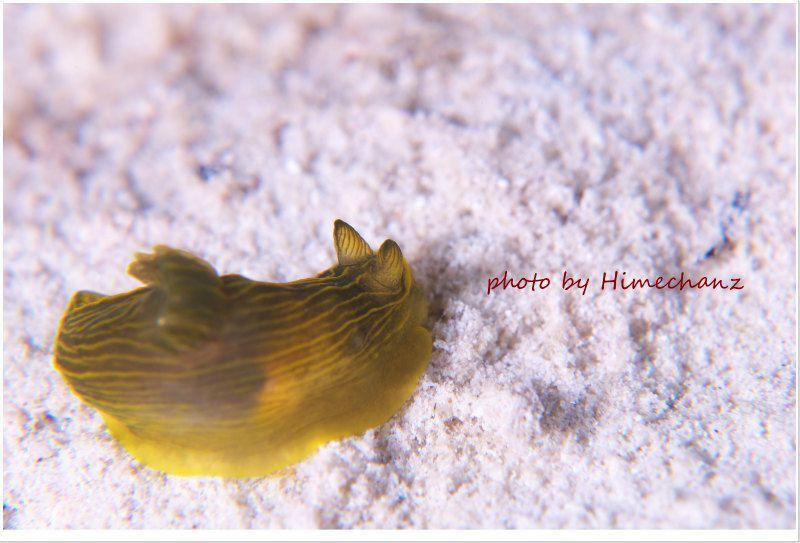 キヌハダウミウシ属の1種3 photo by Nikon D300