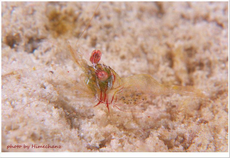 カメンカクレエビ photo by Nikon D300