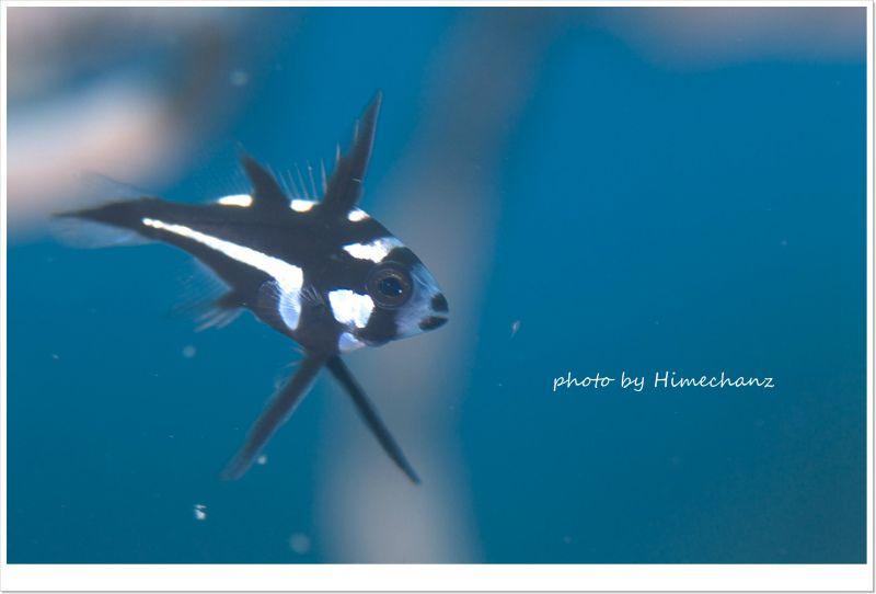 ホホスジタルミ幼魚 photo by Nikon D300