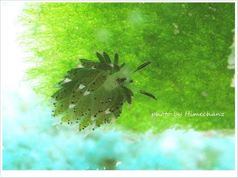 クサイロモウミウシ、単体でいるとカワイイw photo by CANON PowerShot S100