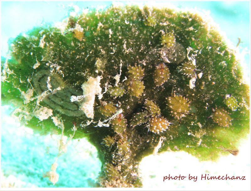 クサイロモウミウシ、団体でいるとちょっと気持ち悪いw photo by CANON PowerShot S100