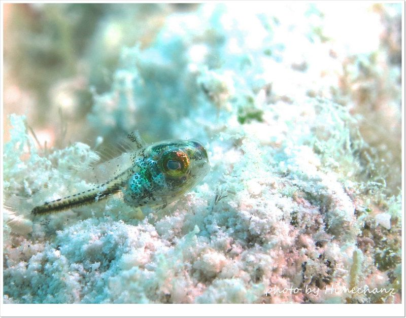 ハタタテギンポの幼魚 photo by CANON PowerShot S100