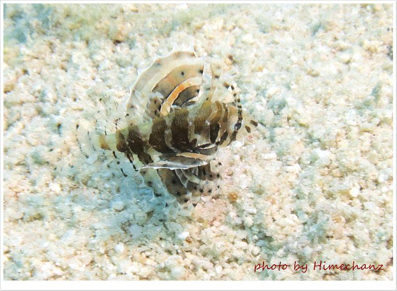 ヒメヤマノカミ幼魚 photo by CANON PowerShot S100