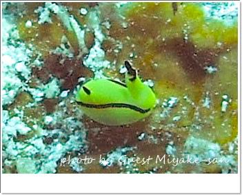 極小オレンジウミコチョウ photo by SEA&SEA 1G