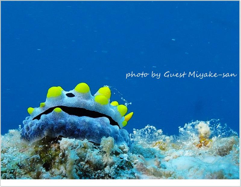 ソライロイボウミウシ photo by SEA&SEA 1G