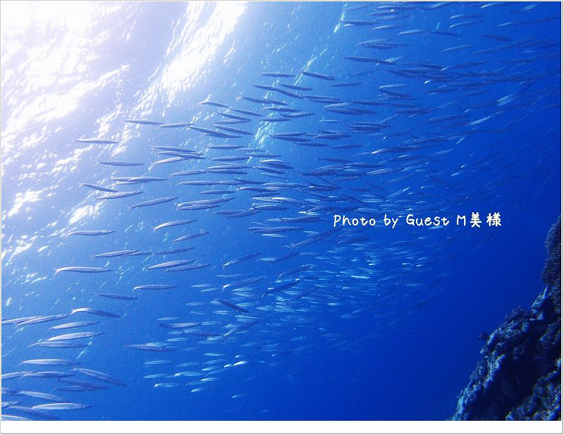 ホソカマスの大群 Photo by OLYMPUS XZ-1