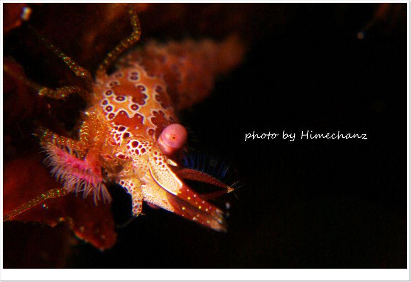 サンゴモエビ、背景を黒くなるように設定することでエビちゃんが強調できますね♪ photo by Nikon D300
