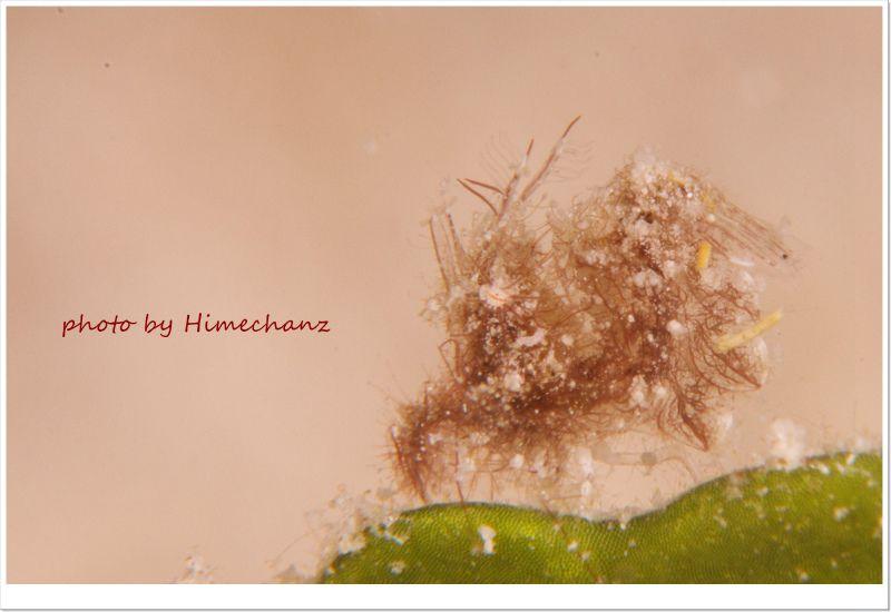 フィコカリス・シムランス、米粒サイズですが体毛まで撮影できるのが一眼レフの凄さ! photo by Nikon D300