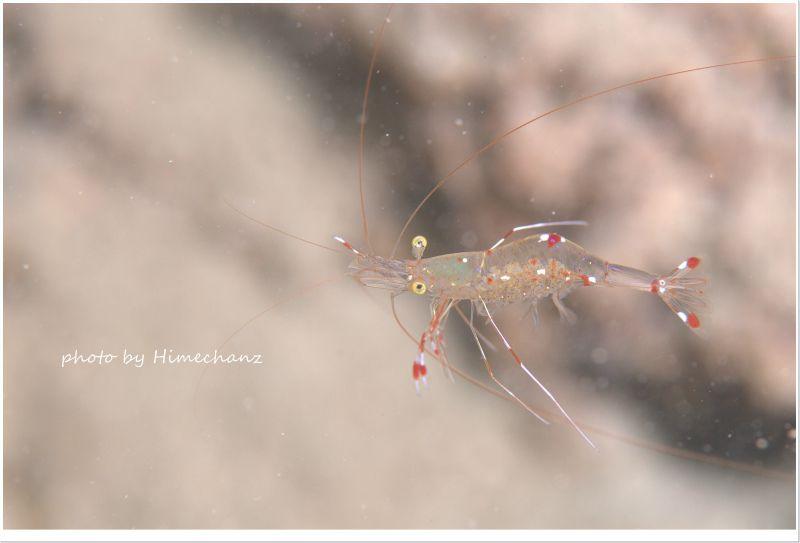 ソリハシコモンエビ photo by Nikon D300