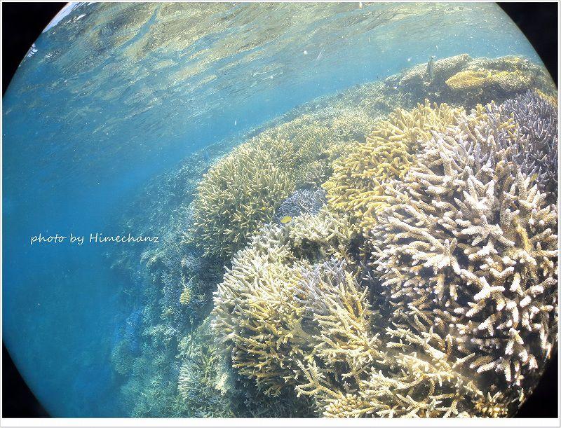 浅場のサンゴは暑くないのかなぁ!?めちゃくちゃ元気いっぱいそうでした! photo by CANON PowerShot S100