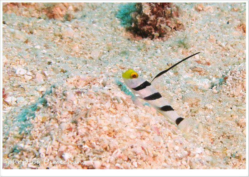 ヒレナガネジリンボウ幼魚 photo by CANON PowerShot S100