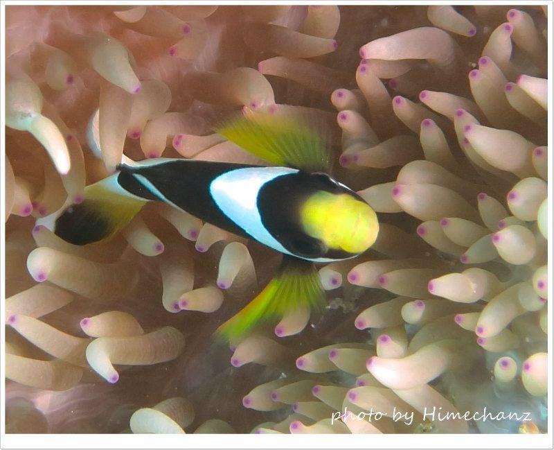 クマノミ幼魚 photo by CANON PowerShot S100
