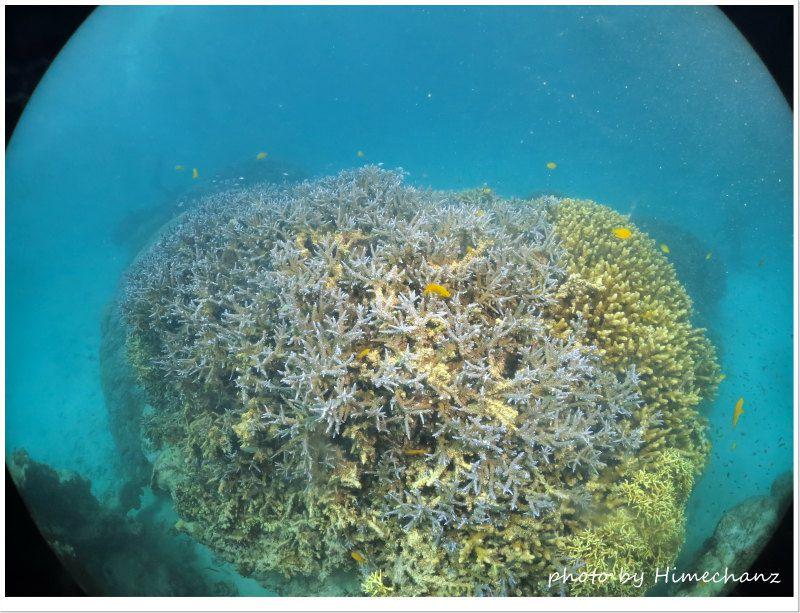 今日も極上サンゴ健在でした! photo by CANON PowerShot S100