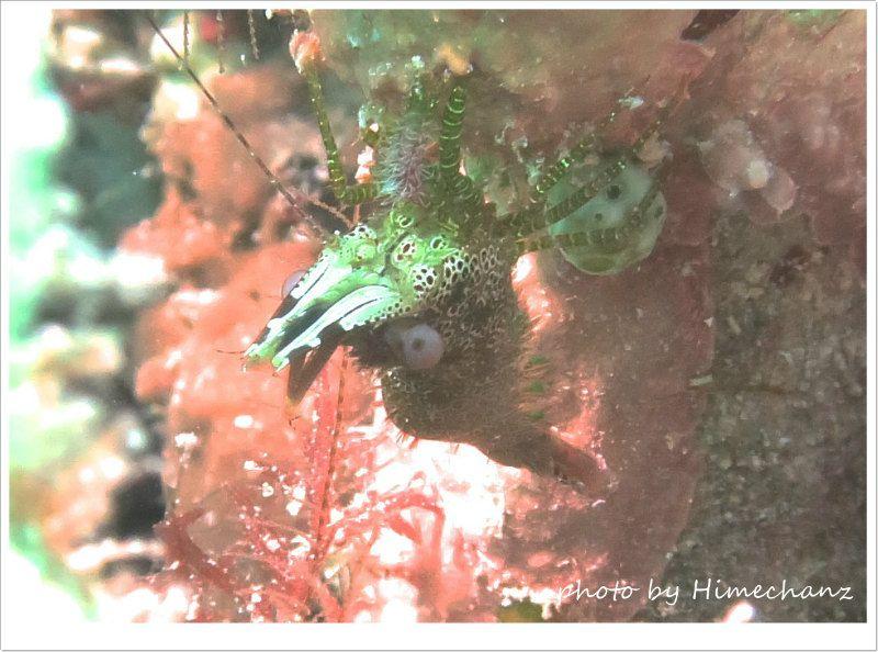 サンゴモエビ photo by CANON PowerShot S100