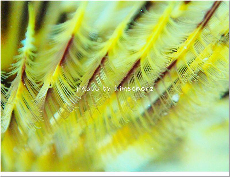 最近ハマってるゴカイの鰓。TG-2でもこんなに綺麗に! photo by OLYMPUS STYLUS TG-2 Tough