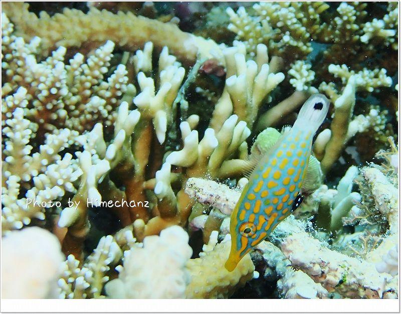 動きも見た目も可愛いテングカワハギ photo by OLYMPUS STYLUS TG-2 Tough