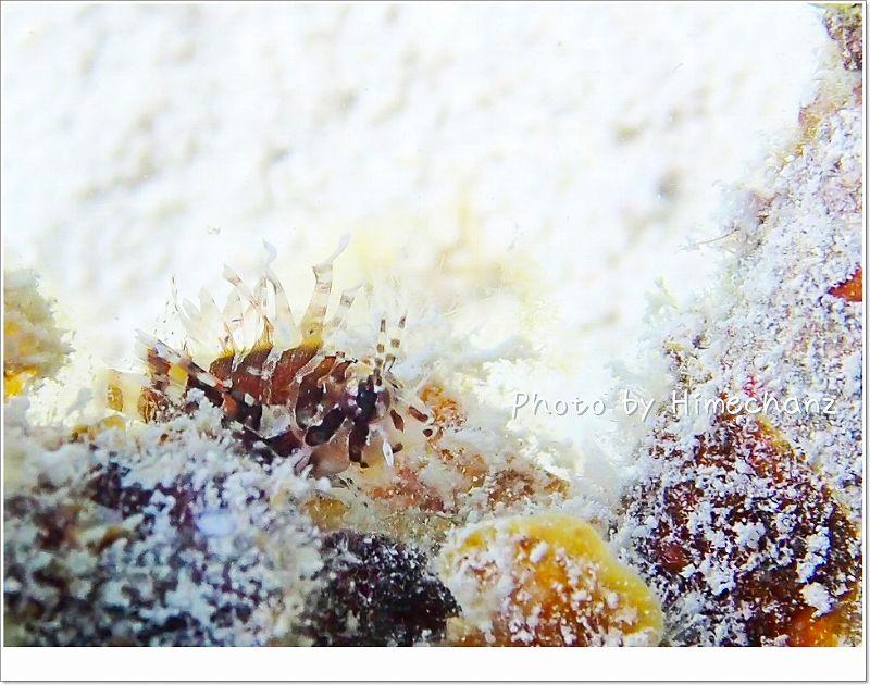 大きくなるのが楽しみ!爪サイズのヒメヤマノカミベイビー photo by OLYMPUS STYLUS TG-2 Tough
