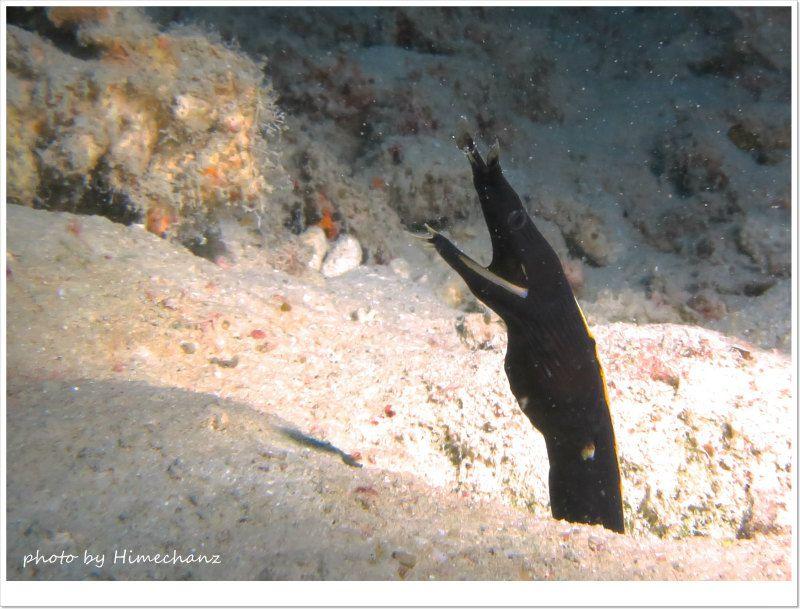ハナヒゲウツボの幼魚 photo by CANON PowerShot S100