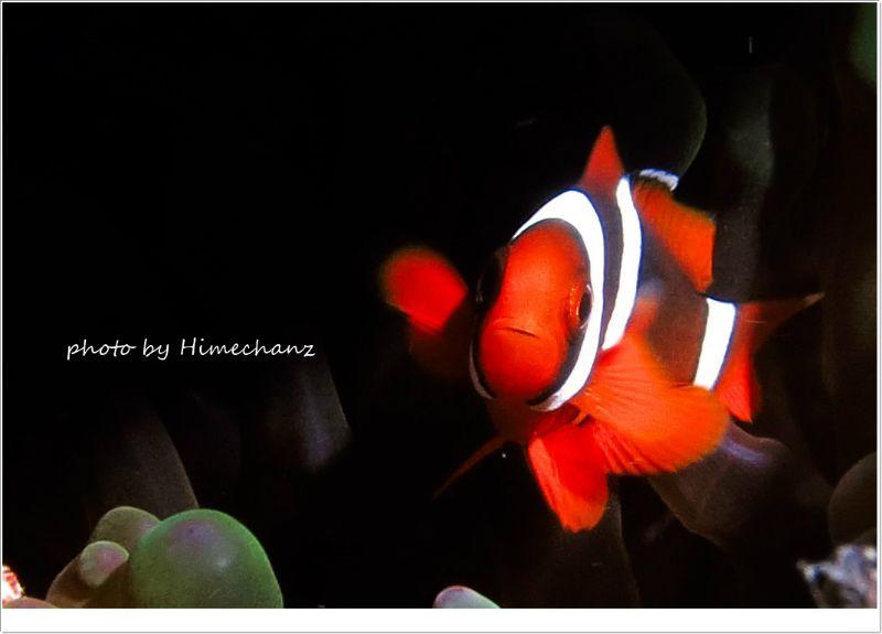 3本ラインのハマクマノミ幼魚 photo by CANON PowerShot S100