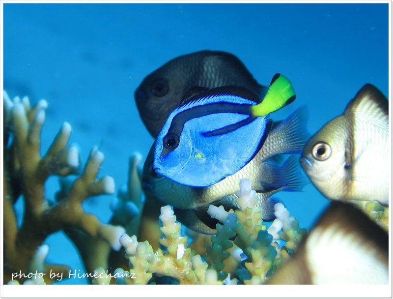 ナンヨウハギ幼魚 photo by CANON PowerShot S100