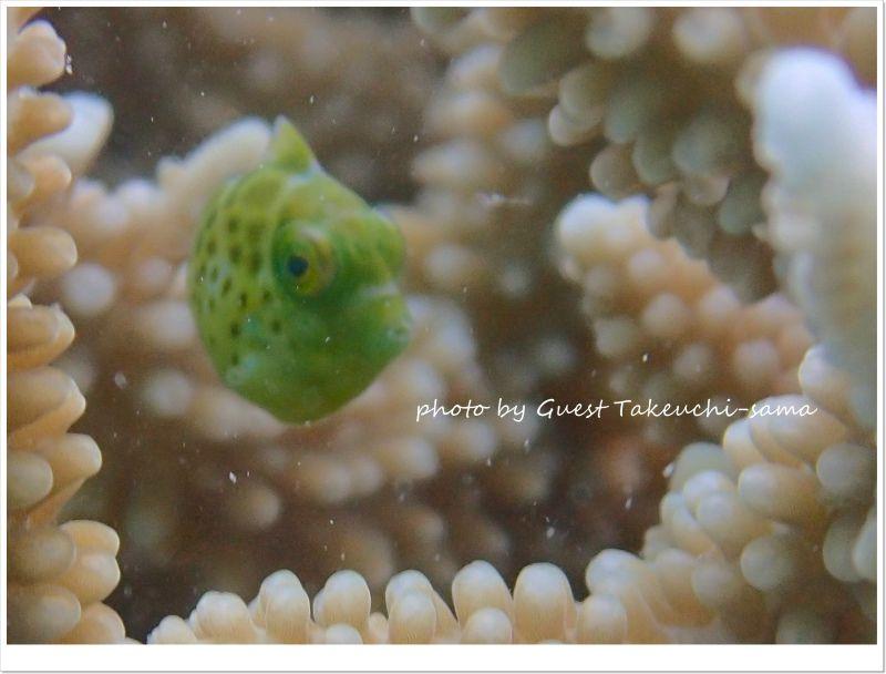 ノコギリハギ幼魚 photo by OLYMPUS STYLUS TG-2 Tough