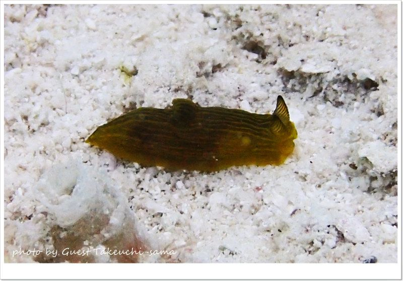 キヌハダウミウシ属1種の3 photo by OLYMPUS STYLUS TG-2 Tough
