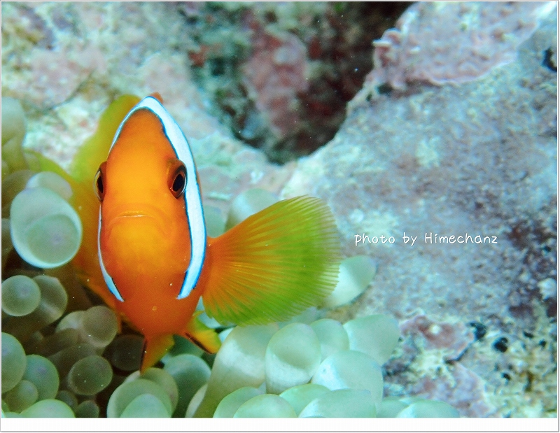 ハマクマノミ photo by OLYMPUS STYLUS TG-2 Tough