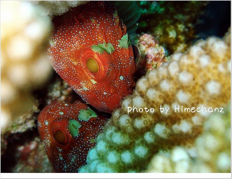 頭でっかち尻つぼみなカスリフサカサゴ photo by OLYMPUS STYLUS TG-2 Tough