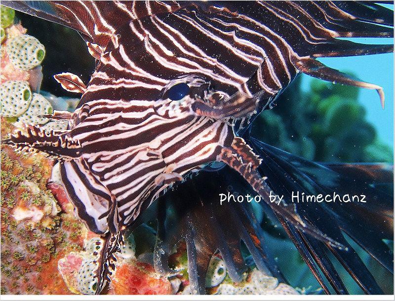 ハナミノカサゴ photo by OLYMPUS STYLUS TG-2 Tough