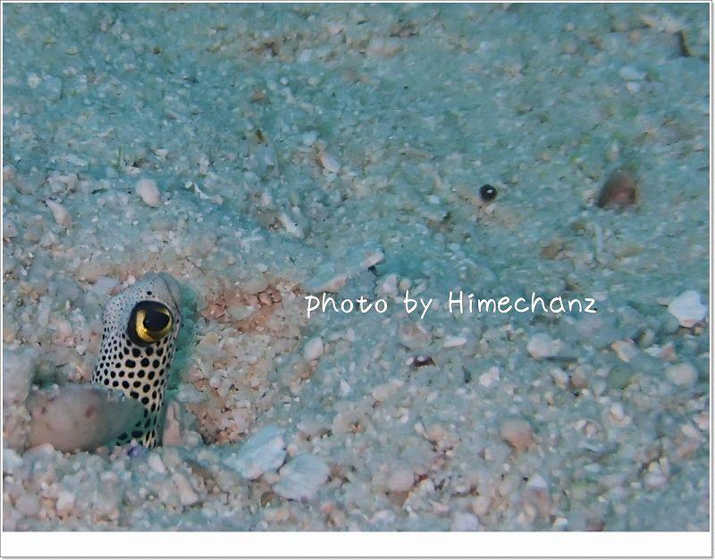 チンアナゴ photo by OLYMPUS STYLUS TG-2 Tough