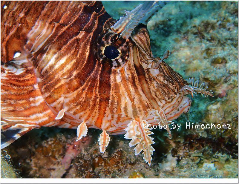 寝てるの??ハナミノカサゴ photo by OLYMPUS STYLUS TG-2 Tough
