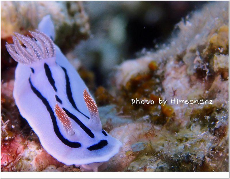 小さいものも。。ミゾレウミウシ photo by OLYMPUS STYLUS TG-2 Tough