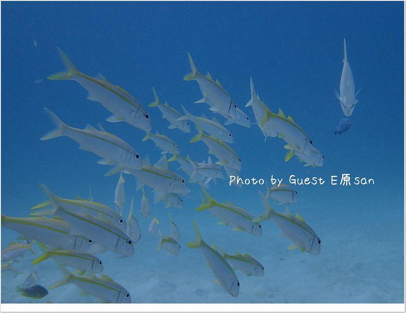 アカヒメジの群れ photo by OLYMPUS STYLUS TG-2 Tough