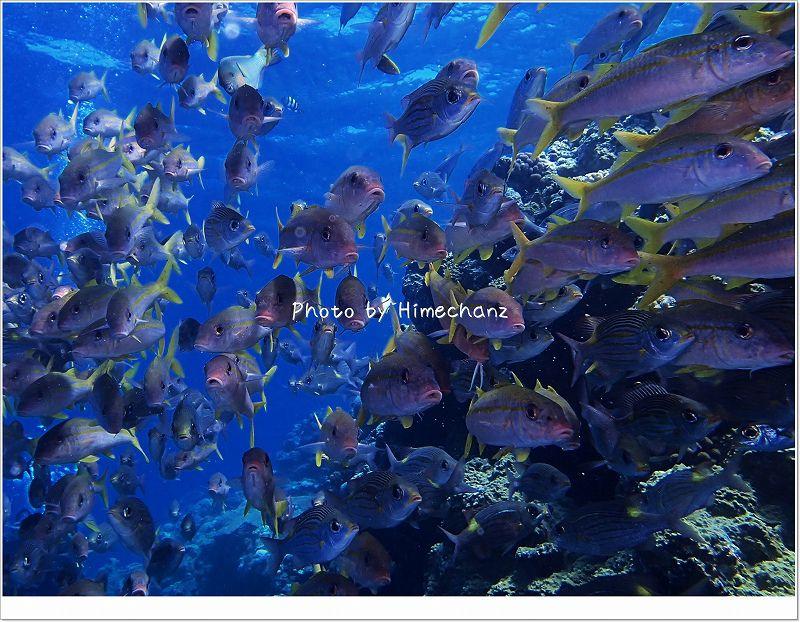 アカヒメジとノコギリダイとたまにアオヤガラの群れ photo by OLYMPUS STYLUS TG-2 Tough