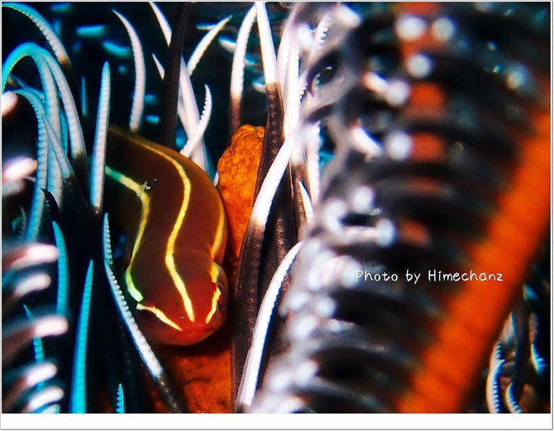 可愛すぎてテンションあがりました!(ウミシダウバウオ) photo by OLYMPUS STYLUS TG-2 Tough