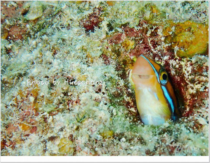 今日もにやにや。ミナミギンポ photo by OLYMPUS STYLUS TG-2 Tough