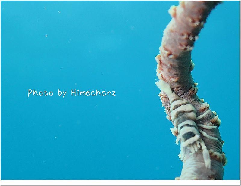 化け上手!ムチカラマツエビ photo by OLYMPUS STYLUS TG-2 Tough