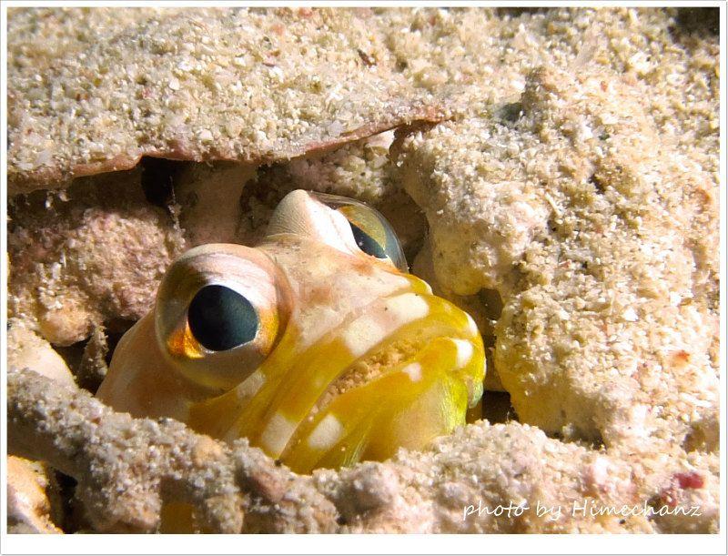 イエロージョーフィッシュが砂を口に入れて巣穴を快適に♪ photo by CANON PowerShot S100