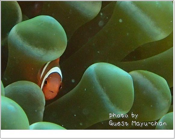 超かわいいっ!ハマクマノミベイビー photo by OLYMPUS STYLUS TG-1 Tough