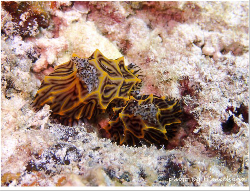 パイナップルウミウシのペア photo by OLYMPUS STYLUS TG-2 Tough