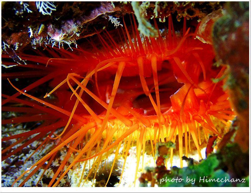 光る貝のウコンハネガイ photo by OLYMPUS STYLUS TG-2 Tough