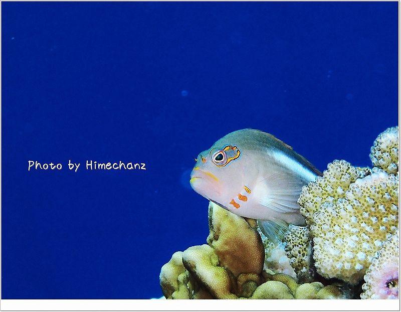 かわいいしついつい撮っちゃうメガネゴンベ photo by OLYMPUS STYLUS TG-2 Tough
