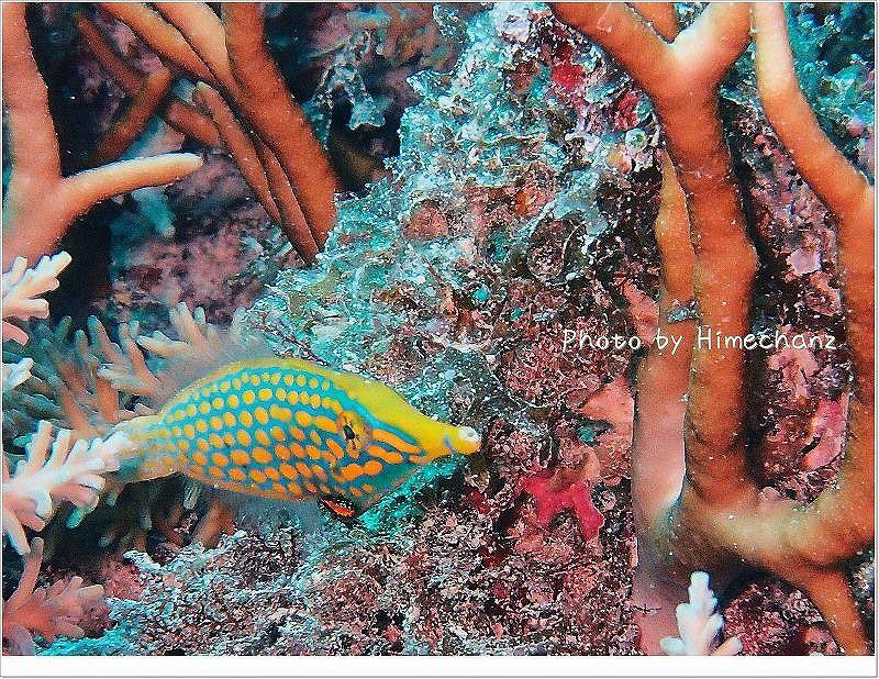 テングカワハギ photo by OLYMPUS STYLUS TG-2 Tough