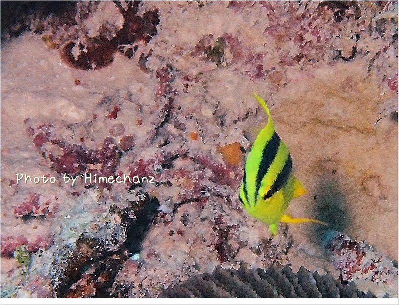 ヒレナガスズメダイ幼魚 photo by OLYMPUS STYLUS TG-2 Tough