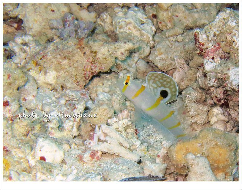 ニチリンダテハゼが比較的浅い水深で見れるのも魅力的♪ photo by CANON PowerShot S100