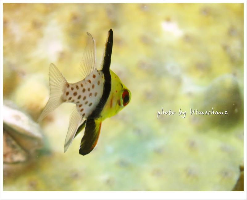 かわいいマンジュウイシモチの幼魚もいっぱい見れます♪ photo by CANON PowerShot S100