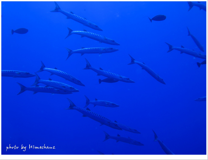ブラックフィンバラクーダも運が良ければ大群で見れるかも♪ photo by CANON PowerShot S100